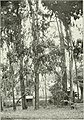 """Eucalyptus hemiphloia in """"Eucalypts cultivated in the United States"""" (1902) (14782793822).jpg"""