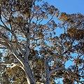 Eucalyptus mannifera canopy, Canberra ACT.JPG
