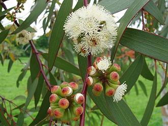 Eucalyptus pauciflora - Flowers