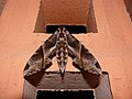 Eumorpha anchemolus, Kourou.jpg
