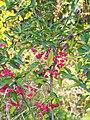Euonymus europaeus Trzmielina pospolita 2020-10-25 01.jpg