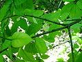 Euonymus verrucosa5pl.jpg