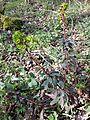 Euphorbia amygdaloides sl2.jpg