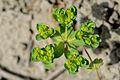 Euphorbia helioscopia (7231710144).jpg