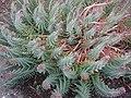 Euphorbia rigida - 01.jpg