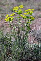 Euphorbia serrata (15298397590).jpg