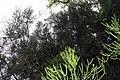 Euphorbia tirucalli 15zz.jpg