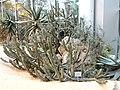 Euphorbia virosa - Palmengarten Frankfurt - DSC01746.JPG