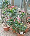Euphorbia x lomii 1 Palmengarten Frankfurt (Main).jpg