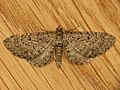 Eupithecia sp. (8957408684).jpg