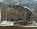 Exhibit of Rajasaurus Narmadensis at Regional Museum of Natural History,Bhopal,India 2.jpg