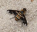 Exoprosopa fascipennis. Anthracinae Bombyliidae (38562881131).jpg