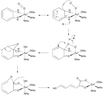 Dioxygenase - Figure 1. Extradiol Ring Cleavage