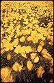 FIELD OF YELLOW POPPIES BLOWING IN THE WIND IN LOMPOC, WHERE MANY OF THE WORLD'S FLOWER SEEDS ARE GROWN - NARA - 542704.jpg