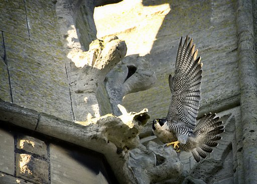 Falco peregrinus St John's Church Bath 1