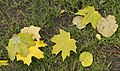 Fallen leaves in Shevchenko Garden 2017 2.jpg