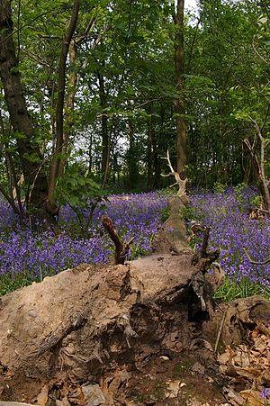 Belhus, Essex - A fallen tree in Belhus Wood