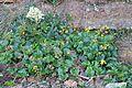 Farfugium japonicum and Fatsia japonica.jpg
