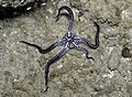 Feather-hitching brittle star (Ophiomaza cacaotica) 2.jpg
