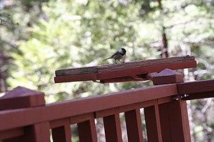 Mountain chickadee - Image: Feederwithmountainch ickadee
