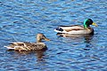 Female and male Mallard ducks.jpg