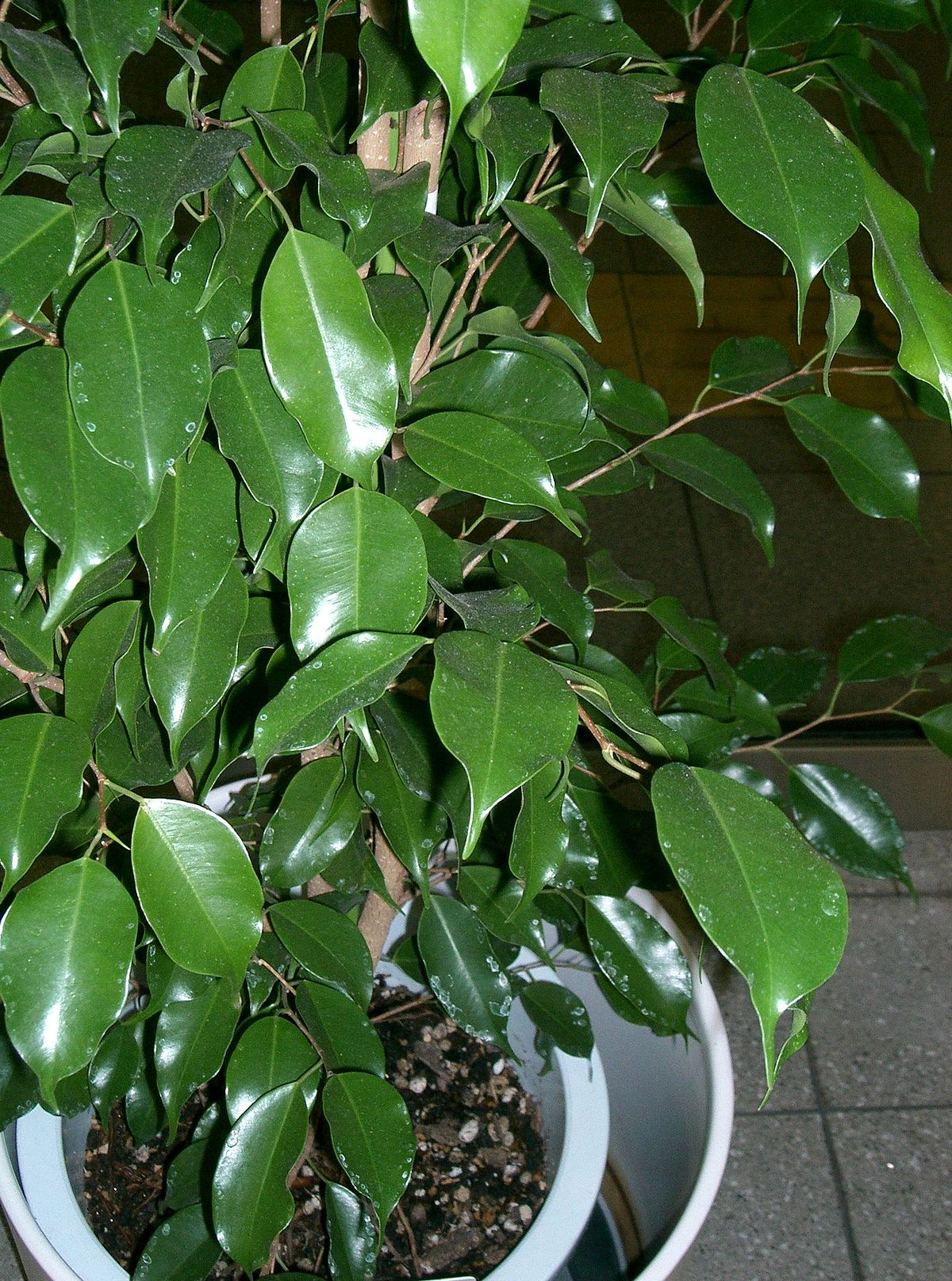 Picture of Live Weeping Fig Tree aka Ficus Benjamina Green Foliage Plant Fit 1QRT Pot