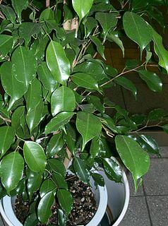 <i>Ficus benjamina</i> species of plant