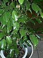 Ficus benjamina2.jpg
