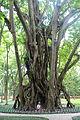 Ficus elastica - Hanoi Botanical Garden - Hanoi, Vietnam - DSC03559.JPG