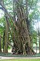 Ficus elastica - Hanoi Botanical Garden - Hanoi, Vietnam - DSC03583.JPG