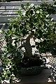 Ficus nitida 3zz.jpg