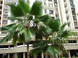 Fiji Fan Palm.jpg