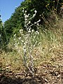 Filago arvensis sl42.jpg