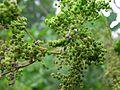 Filipendula ulmaria2.jpg