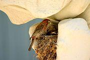 Finch in whalebone