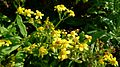 Fireweed Groundsel flower (8663628665).jpg