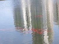 Fish in the Ecological Lake, Petah Tikva.jpg