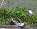 Fisktärna - Common Tern (14524574534).jpg