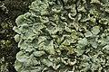 Flavoparmelia soredians (40003940442).jpg