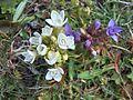 Fleurs en Vanoise 2010 2.jpg