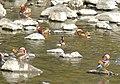 Flock of Aix galericulata in Shonai River - 6.jpg