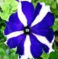 Flor de Petúnia (361059989).jpg