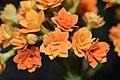 Flores de Kalanchoe blossfeldiana (Crassulaceae).jpg
