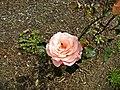 Floribunda - Cherish 015 (b).JPG