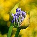 Flower ^3 - Flickr - Stiller Beobachter.jpg