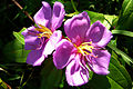 Flower Kalampotti P1030682.jpg