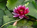 Flower in Lake - Tokiwa Park - Asahikawa - Hokkaido - Japan (48018093031).jpg