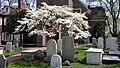 Flowering dogwood - Gloria Dei (Old Swedes') Church Philadelphia May 1 2014.jpg