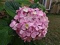 Flowers Nepal 9991.JPG
