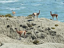 Four Llama-like guanacos on a rock cliff with the ocean in the background